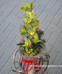 Зеленая орхидея Воронеж