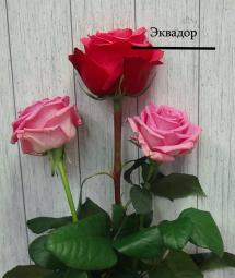 Роза с крупным бутоном