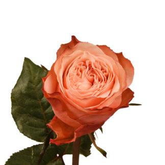 Пионовидная роза Кахала Воронеж