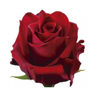 Бордовая роза Мэджик Воронеж