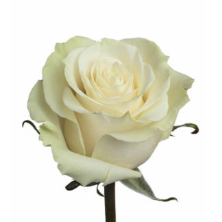 Белая роза Мондиаль Воронеж