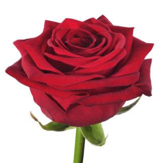 Красная роза Наоми Воронеж