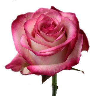Розовая роза Палома Воронеж