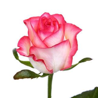 Розовая роза Джумили Воронеж