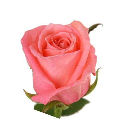 Розовая роза Карина 1 шт