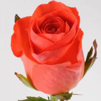 Оранжевая роза Вау Воронеж