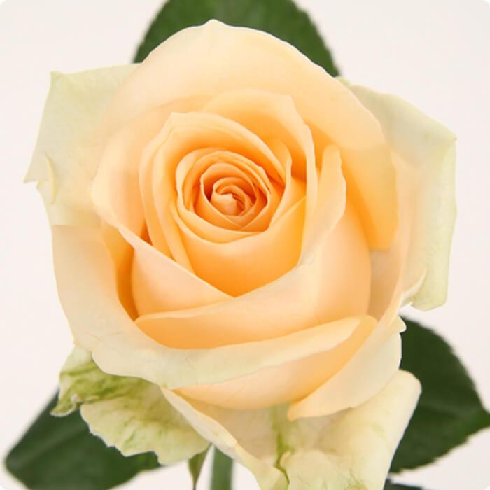Аваланж цветы оптом брянск