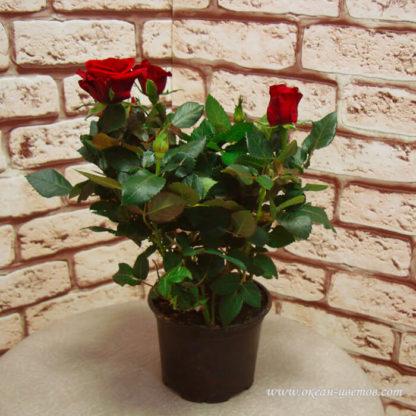 Роза красная в горшке Воронеж