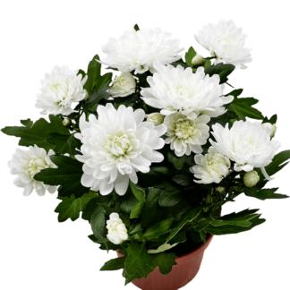 Хризантема кустовая белая в горшке Воронеж